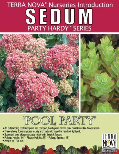 Sedum 'Pool Party' - Product Profile