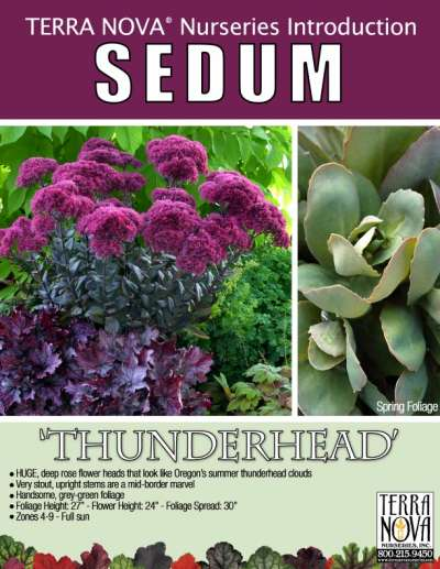 Sedum 'Thunderhead' - Product Profile