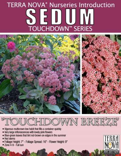 Sedum 'Touchdown Breeze' - Product Profile