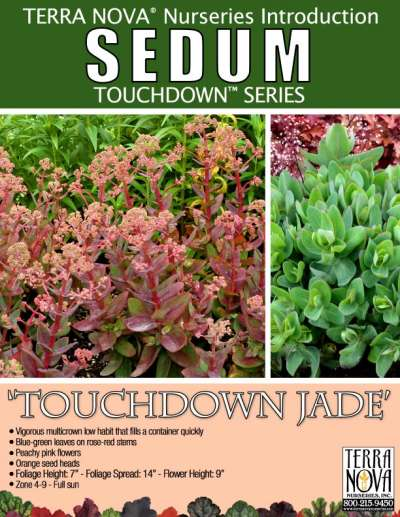 Sedum 'Touchdown Jade' - Product Profile