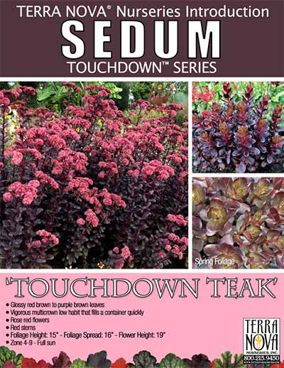 Sedum 'Touchdown Teak' - Product Profile