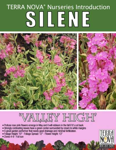 Silene 'Valley High' - Product Profile