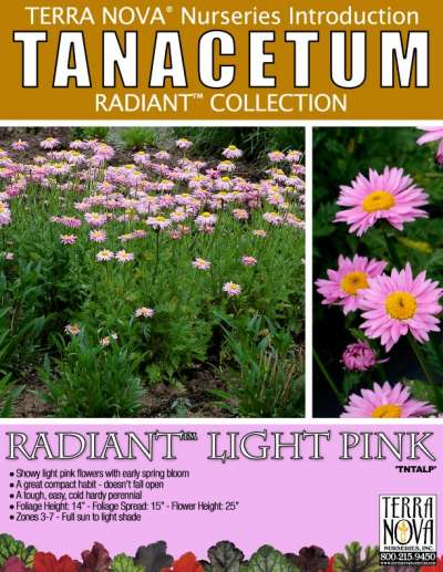 Tanacetum RADIANT™ Light Pink - Product Profile