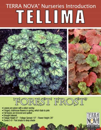 Tellima 'Forest Frost' - Product Profile