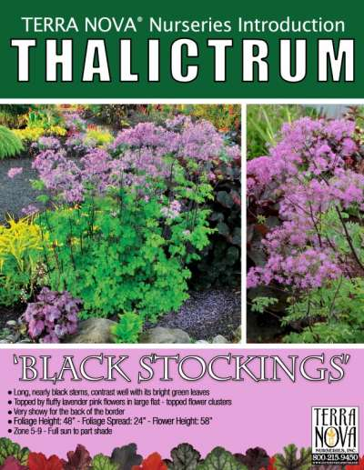 Thalictrum 'Black Stockings' - Product Profile