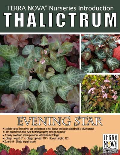 Thalictrum 'Evening Star' - Product Profile