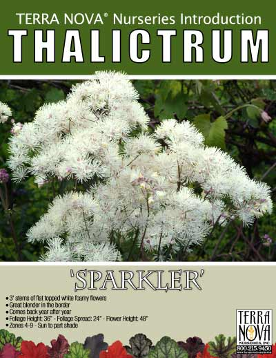 Thalictrum 'Sparkler' - Product Profile