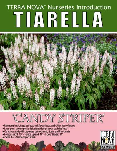 Tiarella 'Candy Striper' - Product Profile