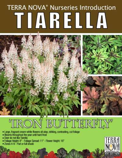 Tiarella 'Iron Butterfly' - Product Profile