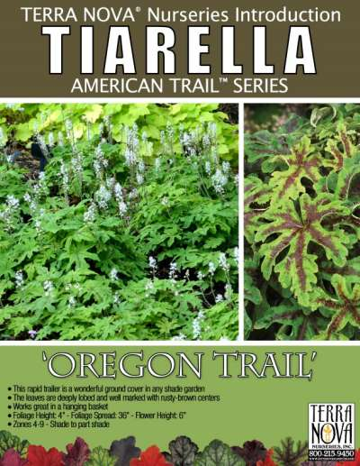 Tiarella 'Oregon Trail' - Product Profile