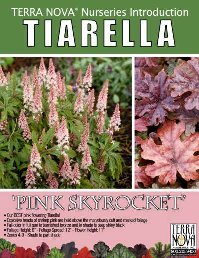 Tiarella 'Pink Skyrocket' - Product Profile