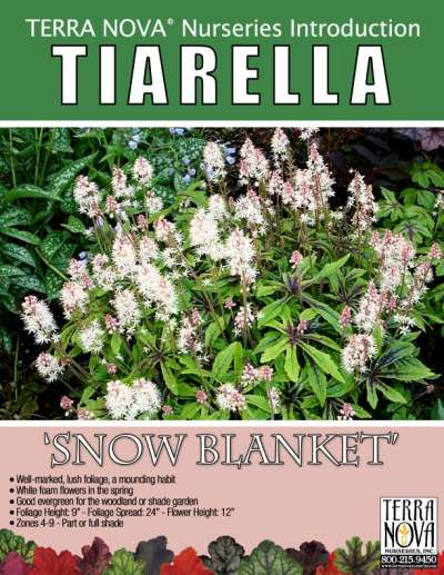 Tiarella 'Snow Blanket' - Product Profile
