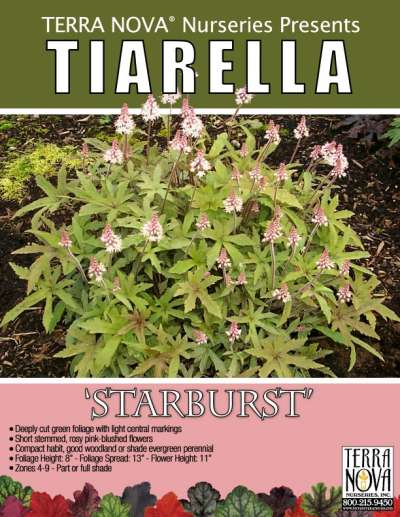 Tiarella 'Starburst' - Product Profile
