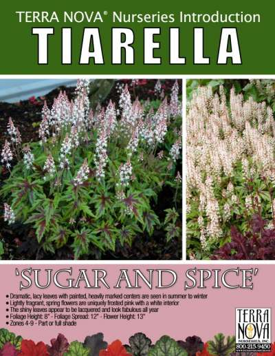 Tiarella 'Sugar and Spice' - Product Profile