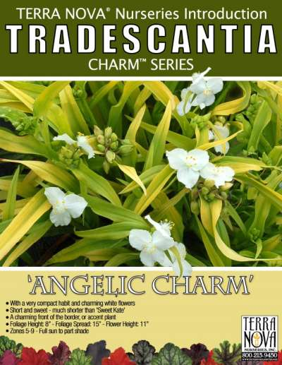 Tradescantia 'Angelic Charm' - Product Profile