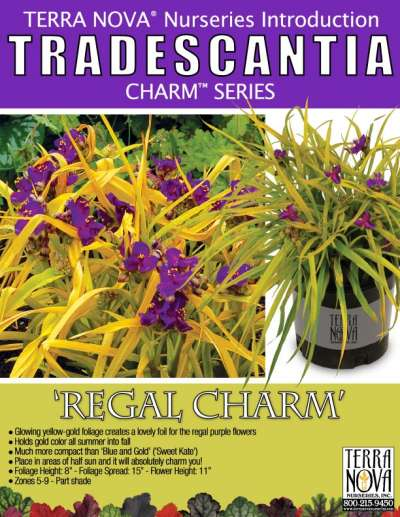 Tradescantia 'Regal Charm' - Product Profile