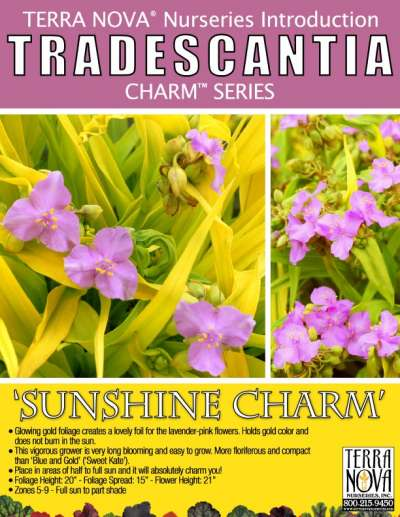Tradescantia 'Sunshine Charm' - Product Profile