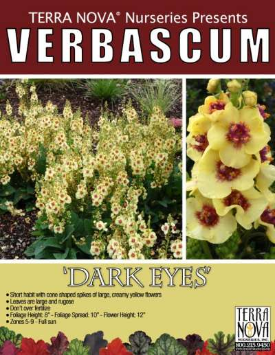 Verbascum 'Dark Eyes' - Product Profile