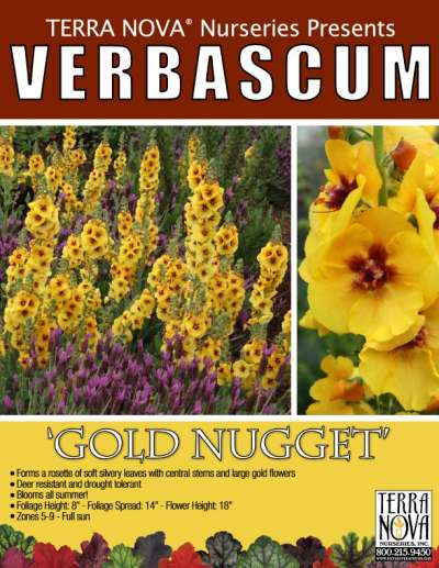 Verbascum 'Gold Nugget' - Product Profile