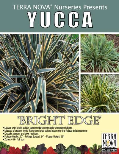 Yucca 'Bright Edge' - Product Profile
