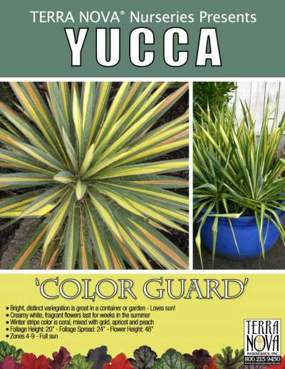Yucca 'Color Guard' - Product Profile
