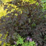 Actaea 'Black Negligee'