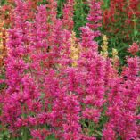 Agastache 'Summer Love'