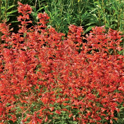 Agastache 'Summer Sunset'