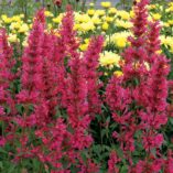 Agastache 'Raspberry Summer'