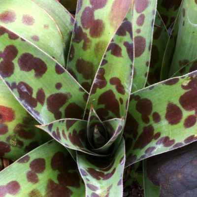 Agave 'Spot'