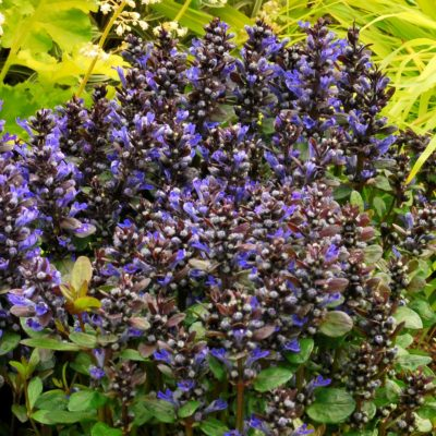 Ajuga 'Blueberry Muffin'