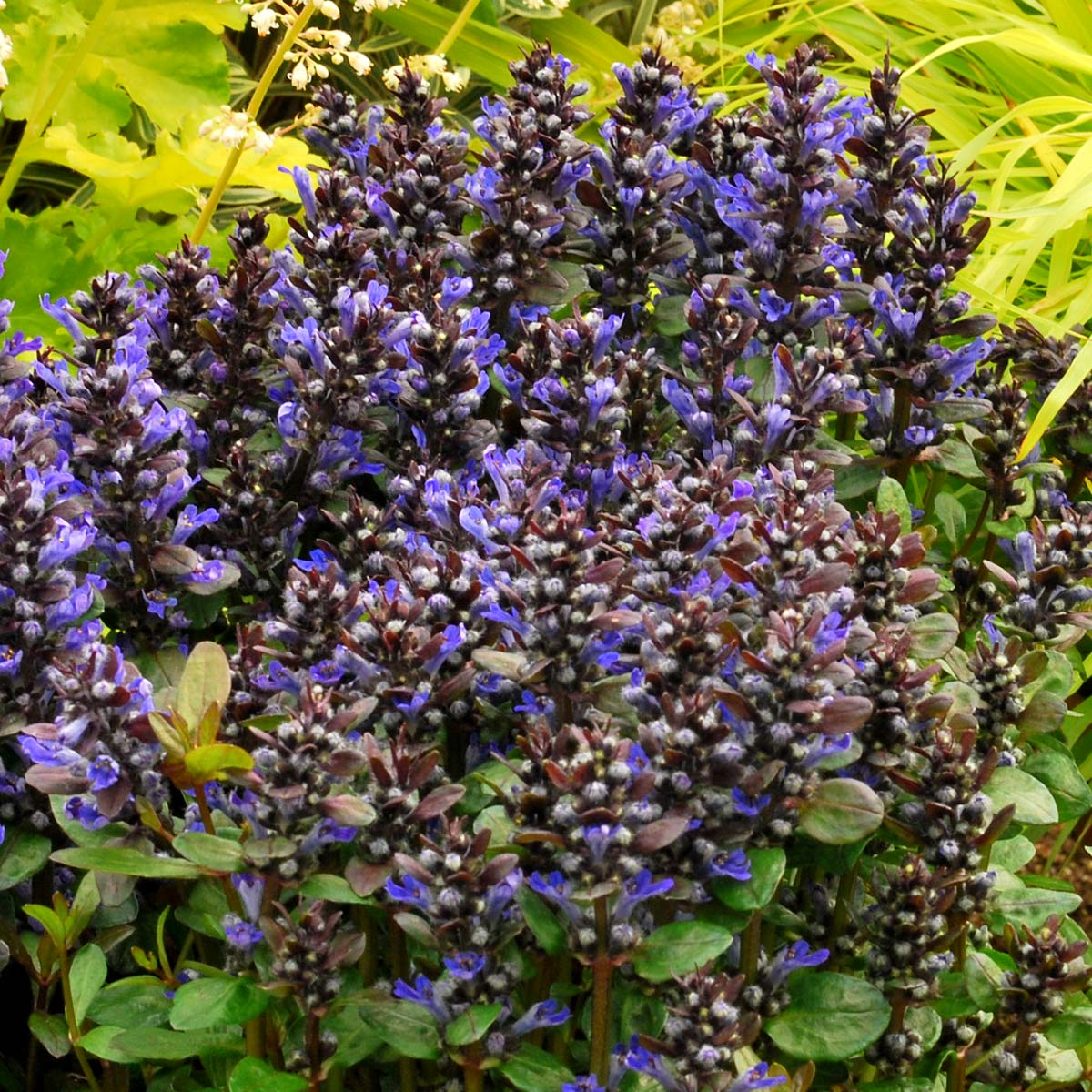 Ajuga Blueberry In