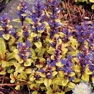 Ajuga 'Toffee Chip'