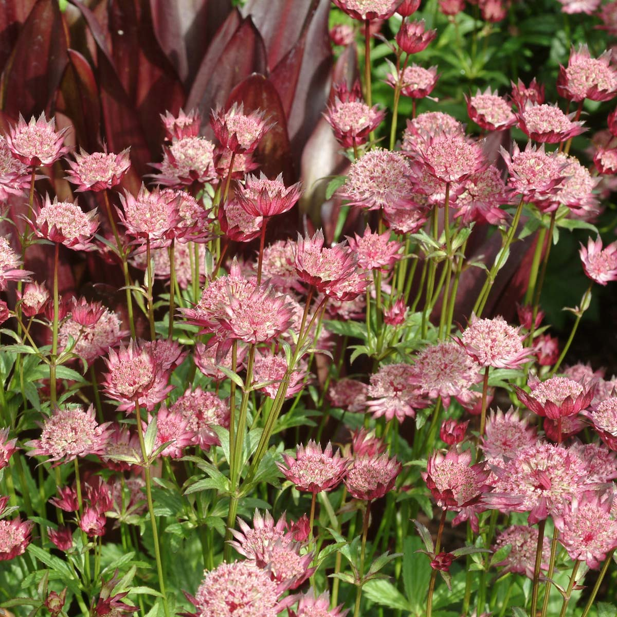 Astrantia 'Hadspen Blood'