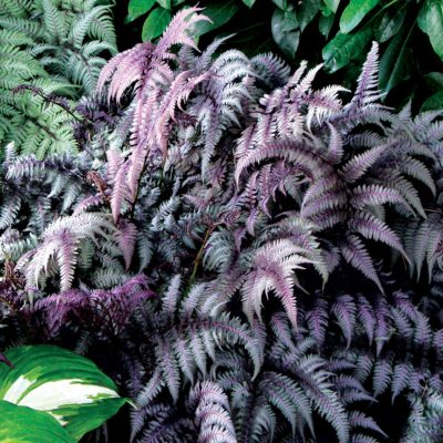 Athyrium 'Burgundy Lace'