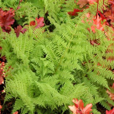 Athyrium 'Encourage'