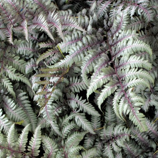 Athyrium 'Silver Falls'