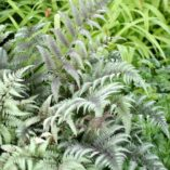 Athyrium 'Ursula's Red'