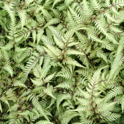 Athyrium 'Wildwood Twist'