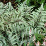 Athyrium 'Wildwood Twist'