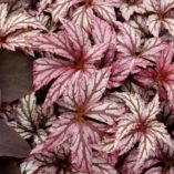 Begonia 'Benitochiba'