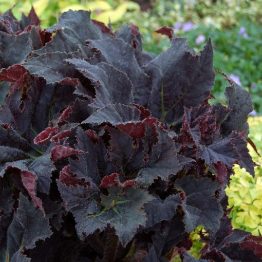 Begonia 'Black Taffeta'