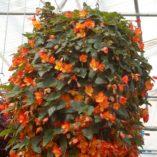 Begonia 'Citra'