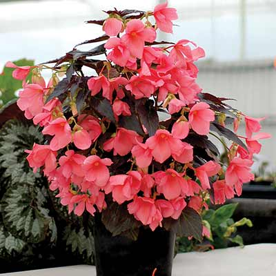 Begonia COCOA™ 'Enchanted Evening'
