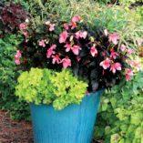 Begonia COCOA™ 'Enchanted Evening'