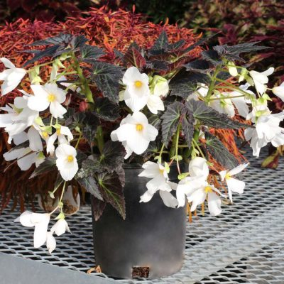 Begonia COCOA™ 'Enchanted Moonlight'
