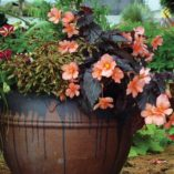 Begonia COCOA™ 'Enchanted Sunrise'