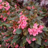Begonia COCOA™ 'Puff Pink'