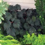 Begonia 'Cool Breeze Emerald'