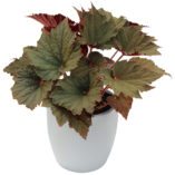 Begonia 'Cool Breeze Emerald'